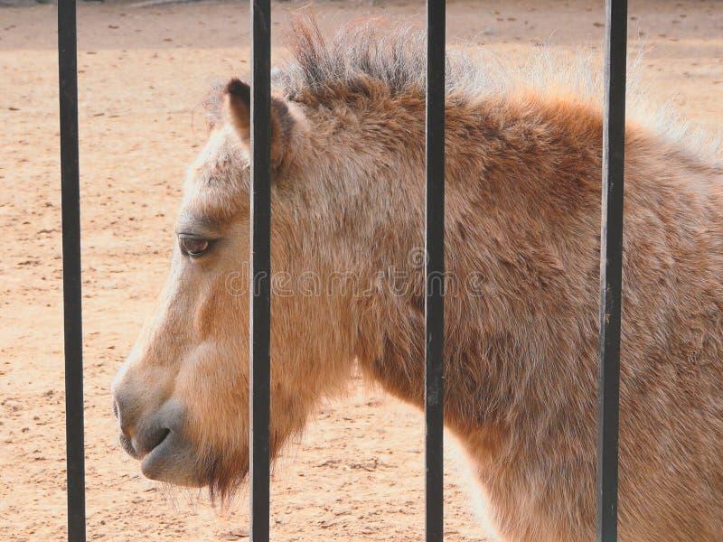Poney in gevangenschap royalty-vrije stock fotografie