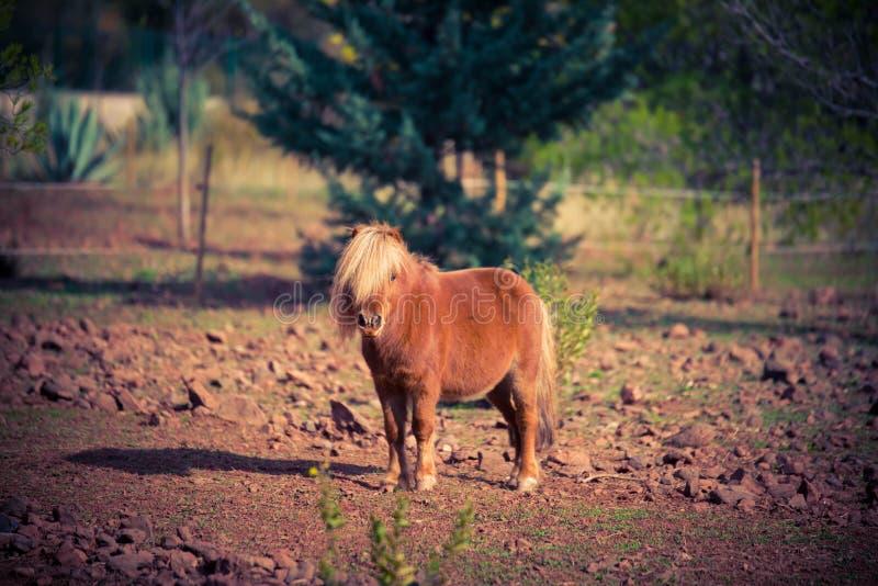 Poney horse shetland outside red royalty free stock images