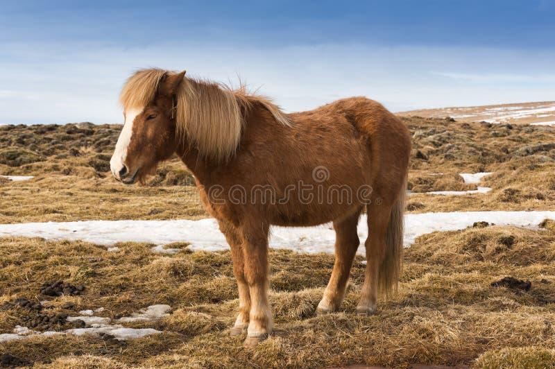 Poney islandais au-dessus d'herbe sèche, Islande image stock