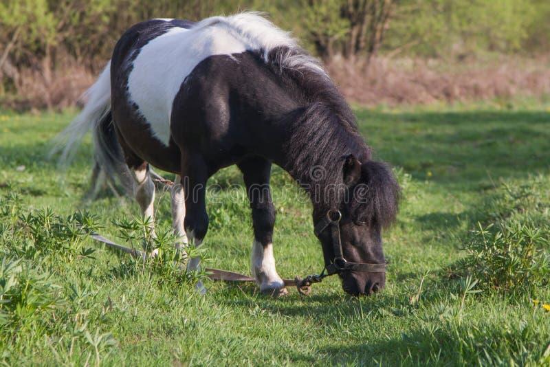 Poney noir et blanc de race de cheval Les chevaux fr?lent dans le pr? Le cheval mange l'herbe images libres de droits