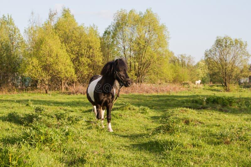 Poney noir et blanc de race de cheval Les chevaux fr?lent dans le pr? Le cheval mange l'herbe photo stock