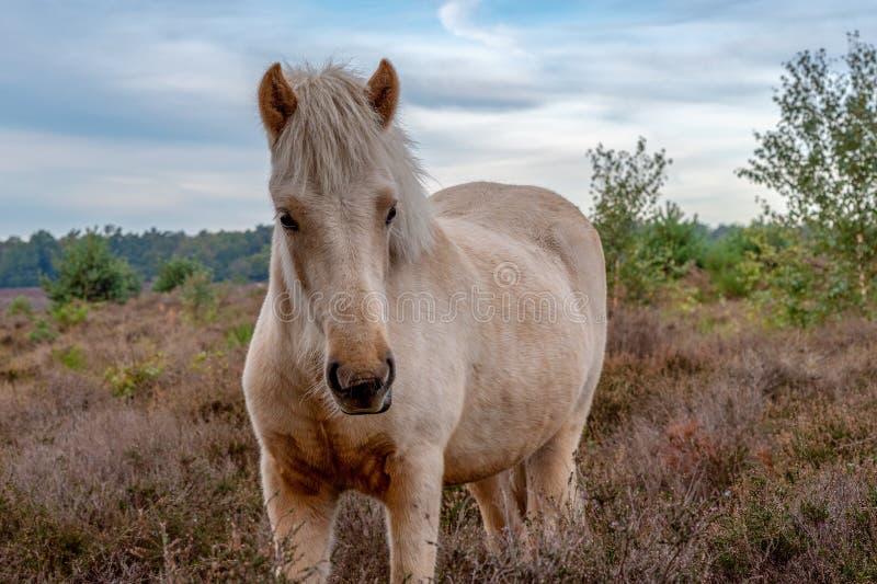 Poney sauvage de l'Islande dans le sauvage photographie stock libre de droits