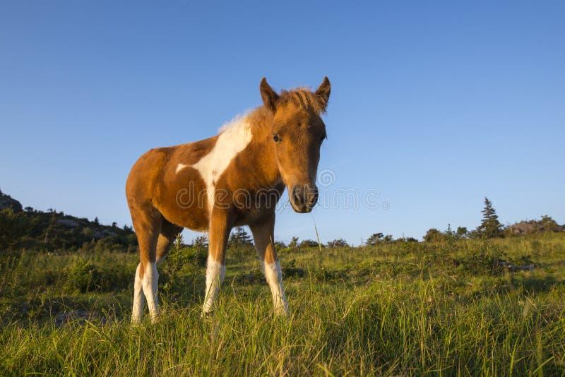 Poney sauvage en Grayson Highlands State Park, la Virginie photos libres de droits