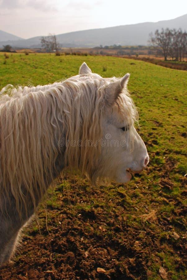 Poney velu recherchant la nourriture sur un champ vert en Irlande photos stock