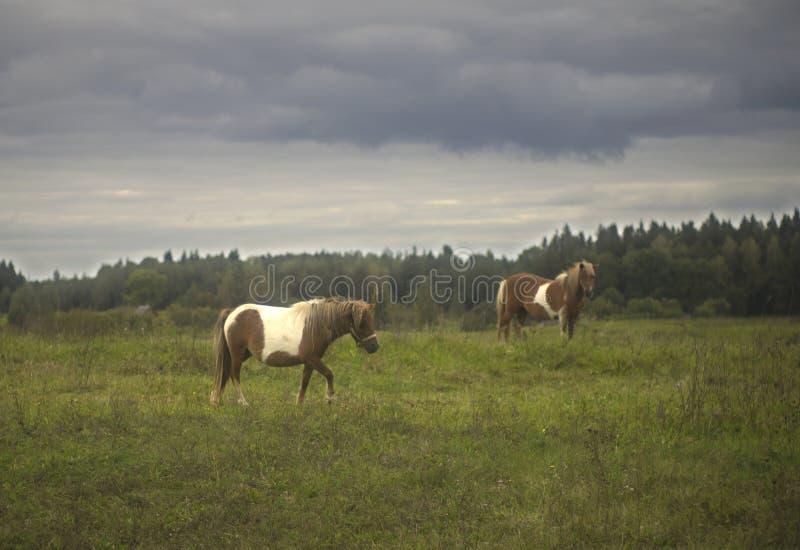 Poneypaarden op een landbouwbedrijfgebied stock afbeelding