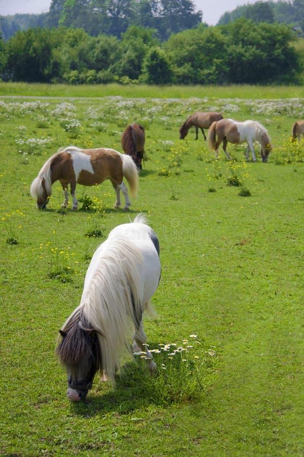 poneys photographie stock