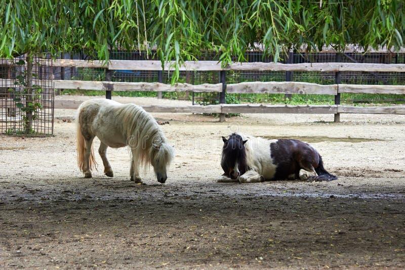 poneys photo stock