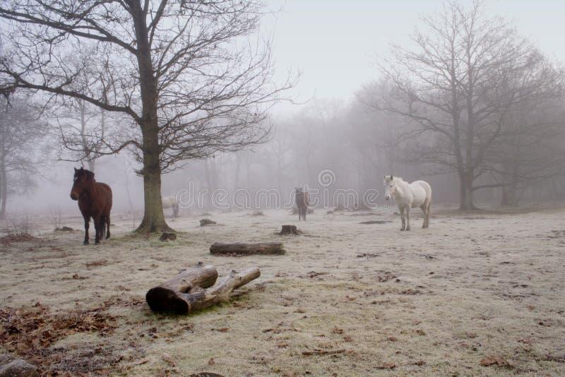 Poneys brumeux image stock