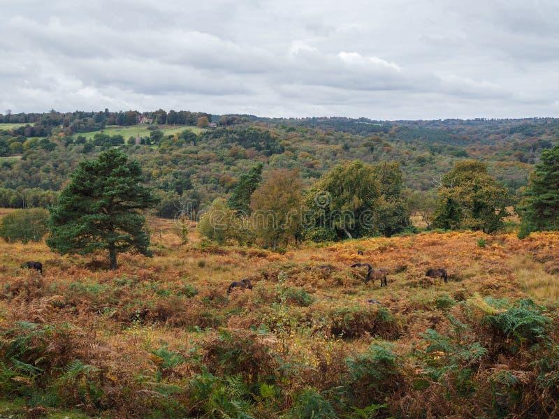 Poneys d'Exmoor frôlant dans la forêt d'Ashdown photo libre de droits