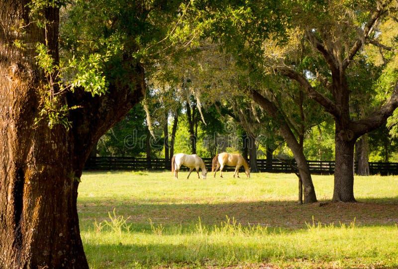 Poneys dans un pré à un centre de formation en Floride images libres de droits