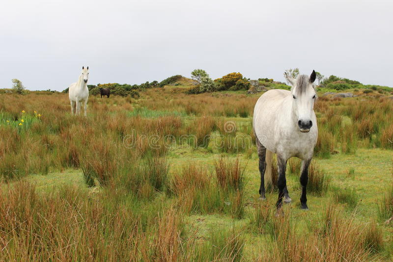Poneys de Connemara photo stock