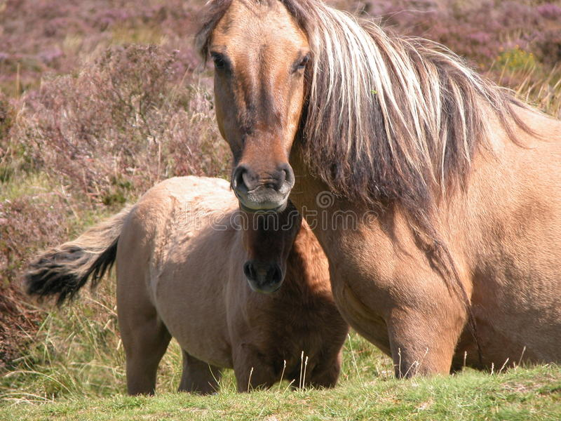 Poneys de Dartmoor image stock