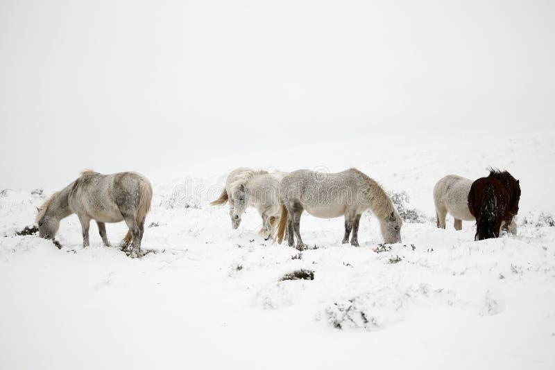 Poneys de Dartmoor dans la neige photos libres de droits