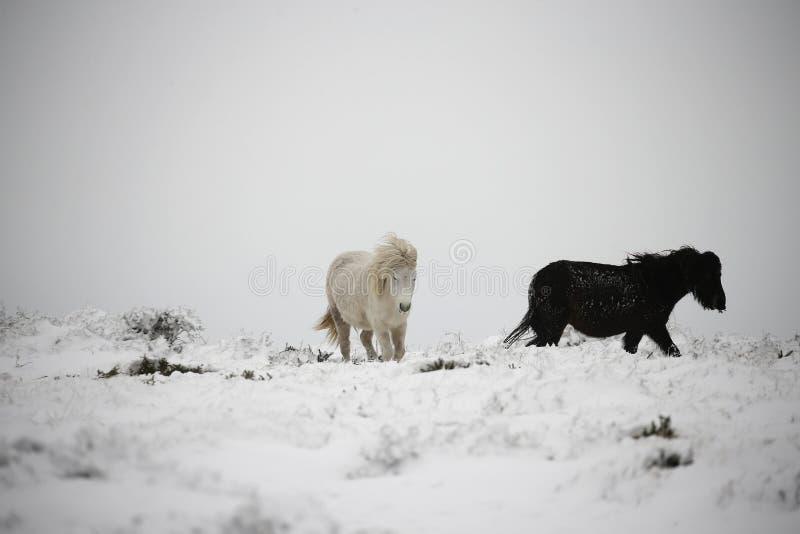 Poneys de Dartmoor dans la neige photos stock