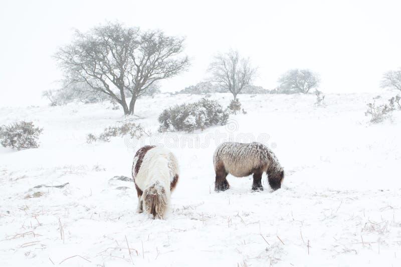 Poneys de Dartmoor dans le dartmoor de neige photo libre de droits