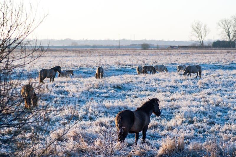 Poneys de Konig en hiver images stock