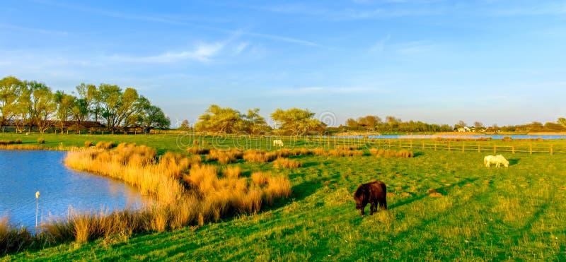 Poneys de Shetland photos libres de droits