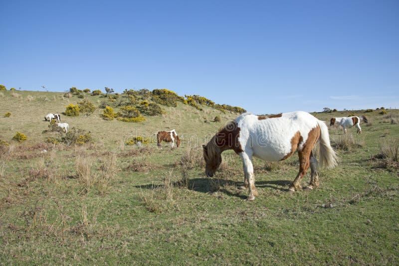 Poneys die op heide Engeland het UK weiden royalty-vrije stock foto