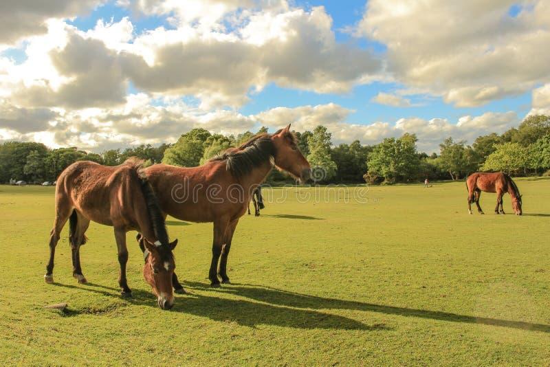 poneys neufs de forêt photographie stock