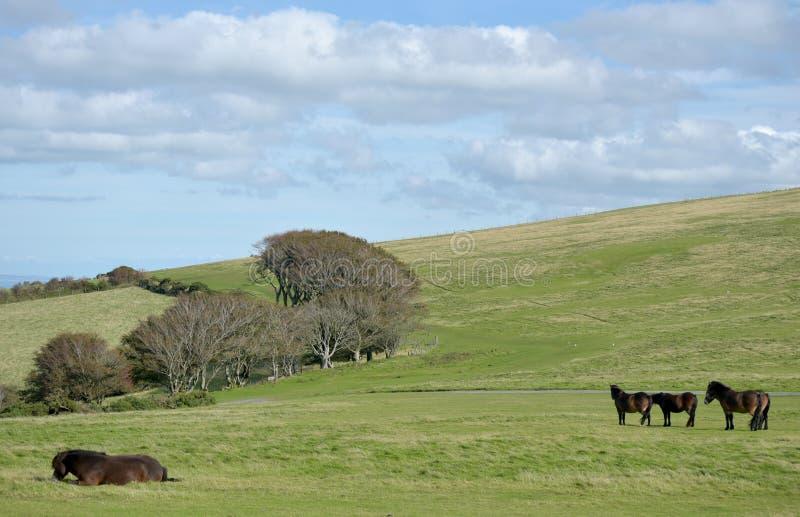 Poneys sauvages d'Exmoor sur Countisbury, Devon du nord photographie stock libre de droits