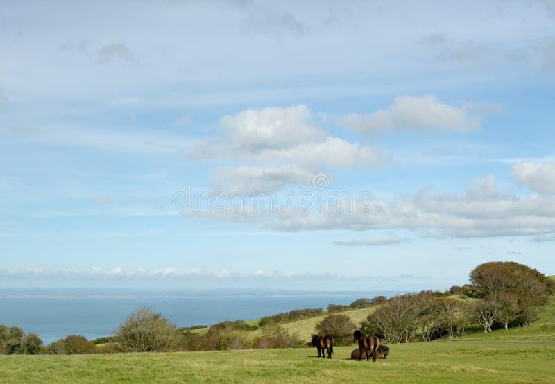 Poneys sauvages d'Exmoor sur Countisbury, Devon du nord images stock