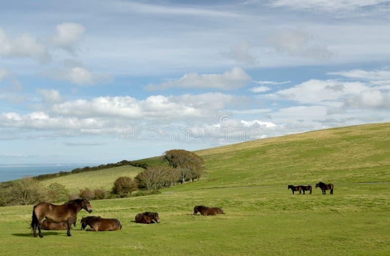 Poneys sauvages d'Exmoor sur Countisbury, Devon du nord photo libre de droits