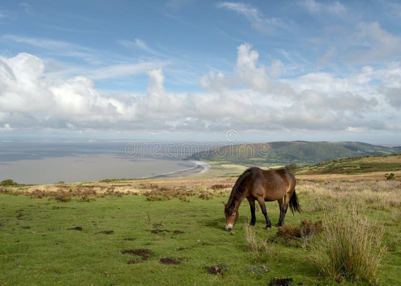 Poneys sauvages d'Exmoor sur la colline de Porlock, Devon du nord image libre de droits