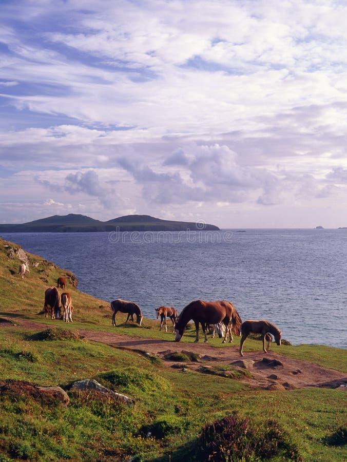 Poneys sauvages de Pembrokeshire photos stock