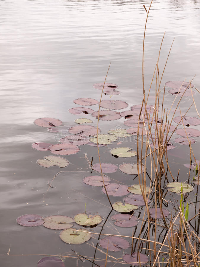 a pong with lilies submerged and reeds sticking out at the surface with ripples on an overcast day with clouds reflected stock images