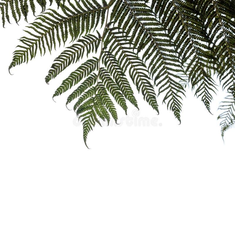 Ponga oder silberne Baumfarnblätter lokalisiert stockfoto