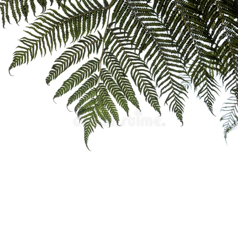 Ponga or Silver tree-fern leaves isolated. On white background stock photo