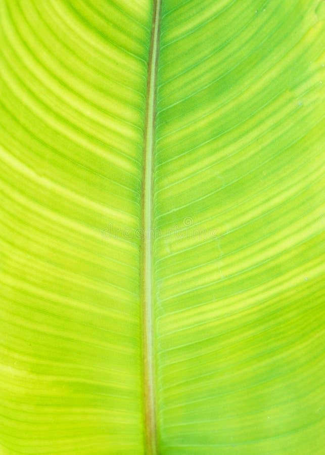 Ponga verde el fondo de la hoja del plátano foto de archivo