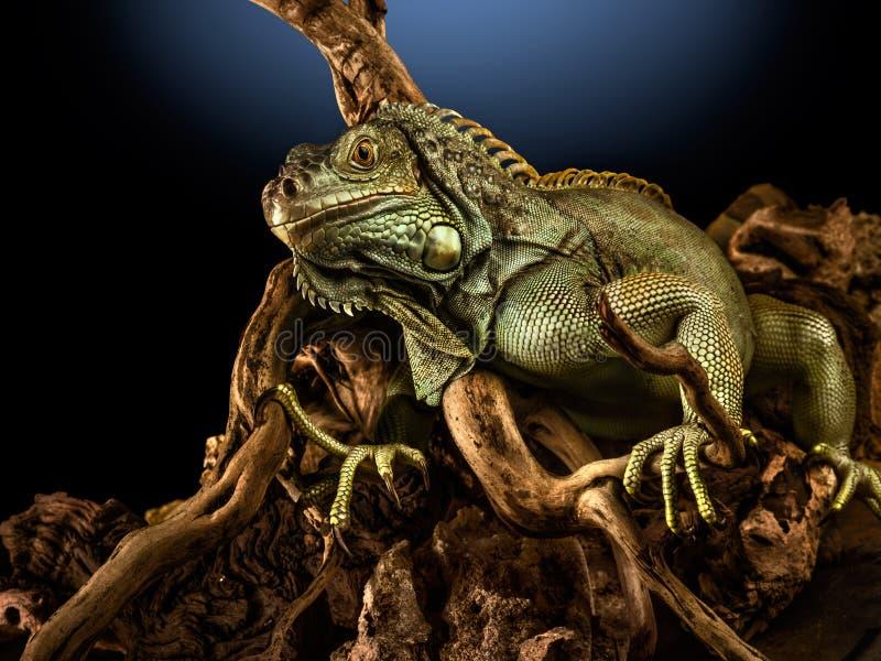 Ponga verde la iguana en la ramificación fotos de archivo