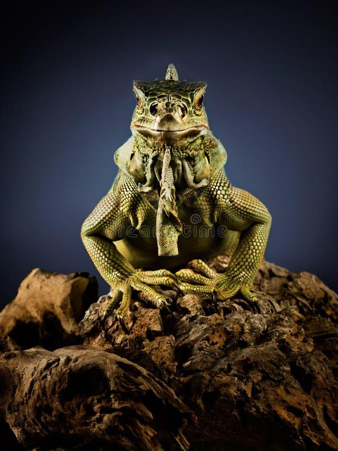 Ponga verde la iguana en la ramificación foto de archivo libre de regalías