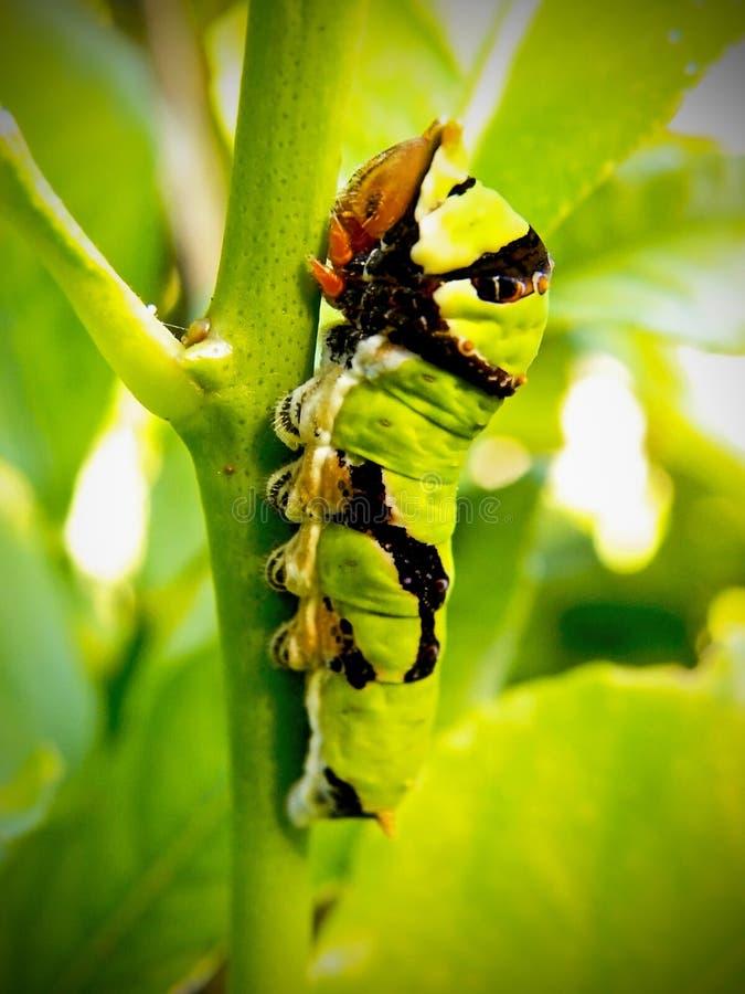 Ponga verde la oruga de la cola del trago de la fruta cítrica foto de archivo