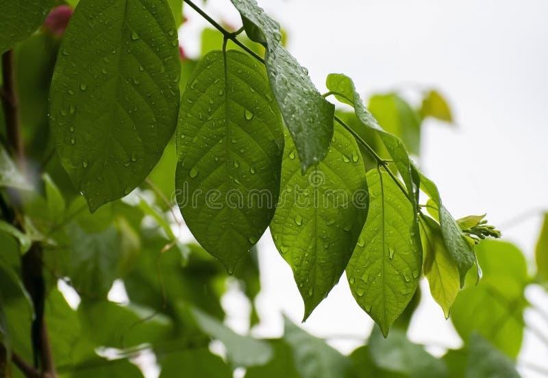 Ponga verde las hojas con gotas del agua fotos de archivo