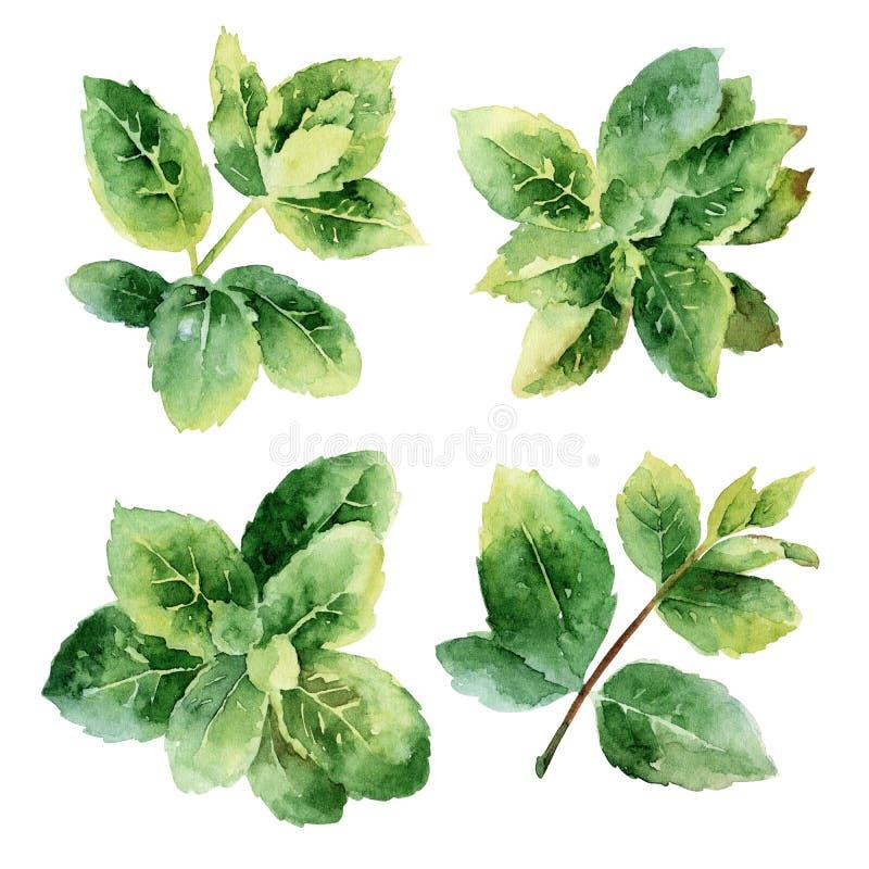 Ponga verde las hojas de menta ilustración del vector