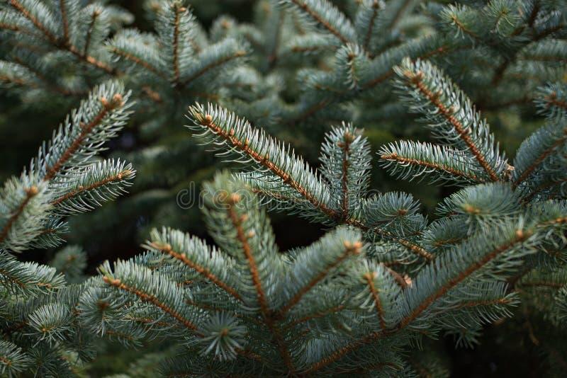 Ponga verde las ramificaciones de árbol de abeto fotos de archivo