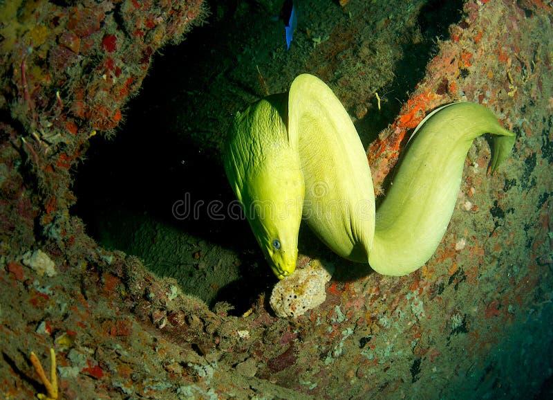 Ponga verde los funebris de la Anguila-Gymnothorax del Moray fotos de archivo libres de regalías