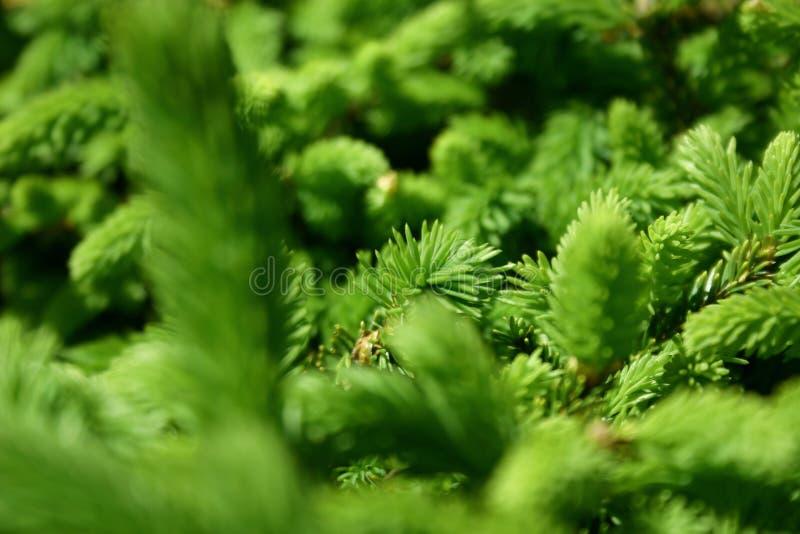 Ponga verde los pinos foto de archivo