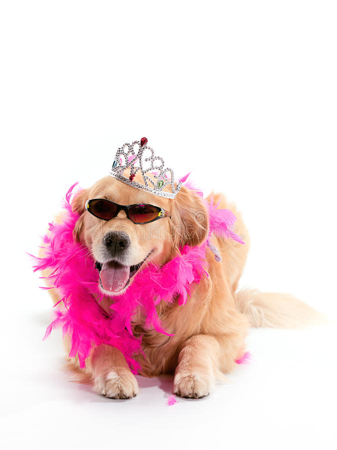 Poniendo a la princesa perro perdiguero de oro fotografía de archivo libre de regalías