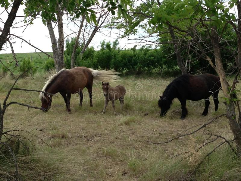 Ponies with a beautiful foal. royalty free stock image