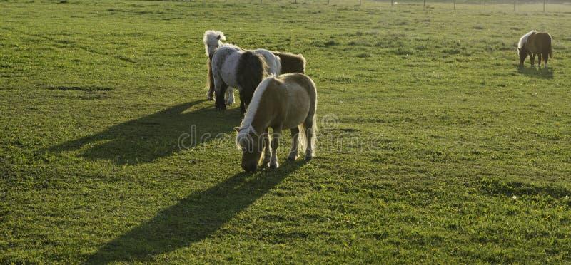 Shetland Ponies stock image