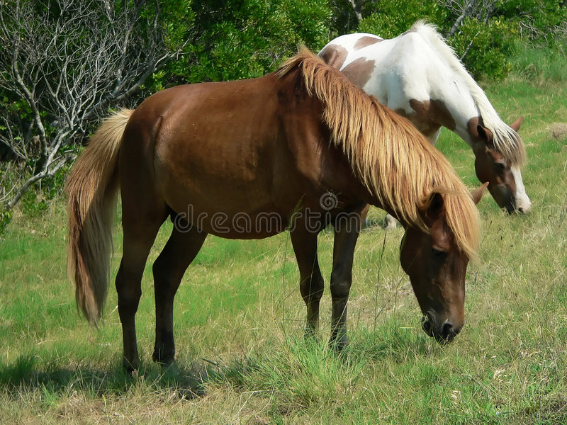 Download Ponies grazing stock image. Image of front, knobby, face - 213039