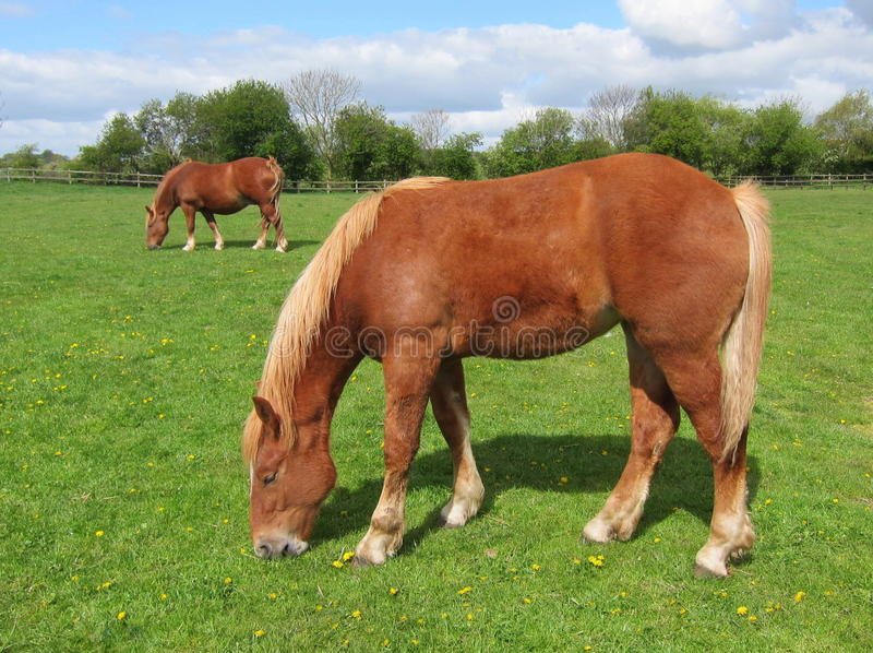 Ponies Grazing royalty free stock image