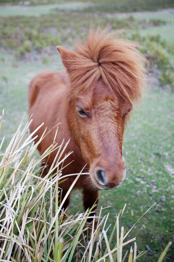 Ponies in Padock. Beautiful Ponies in a farm paddock stock photography