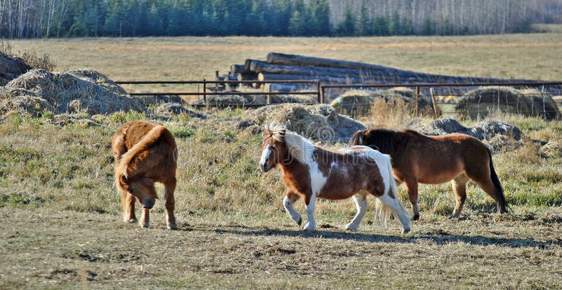 Ponies in a pan together. Three Ponies gather in their pan at a farm in Alberta stock images