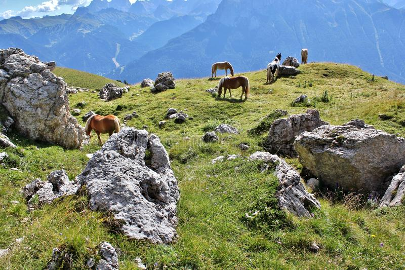 Ponies by the Rosengarten Group, Dolomites royalty free stock photography