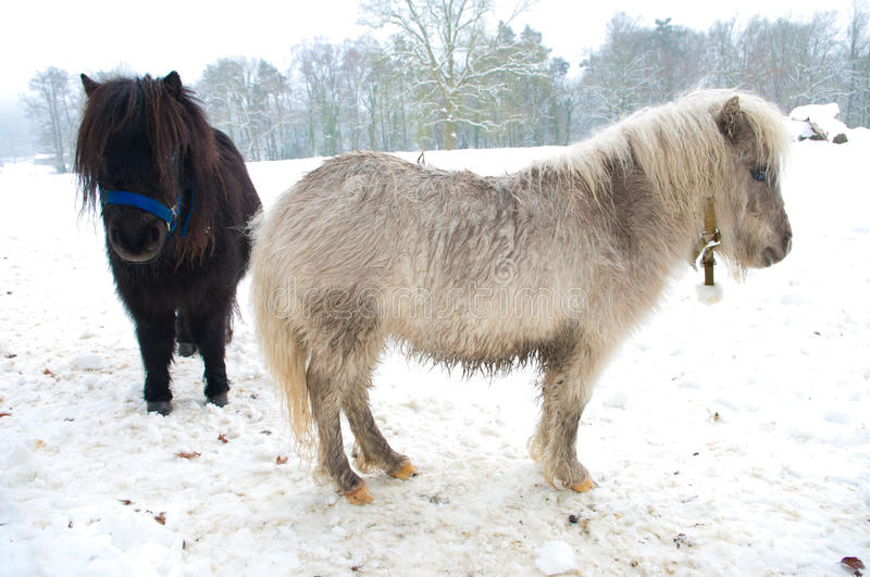 Ponies in snow royalty free stock photo