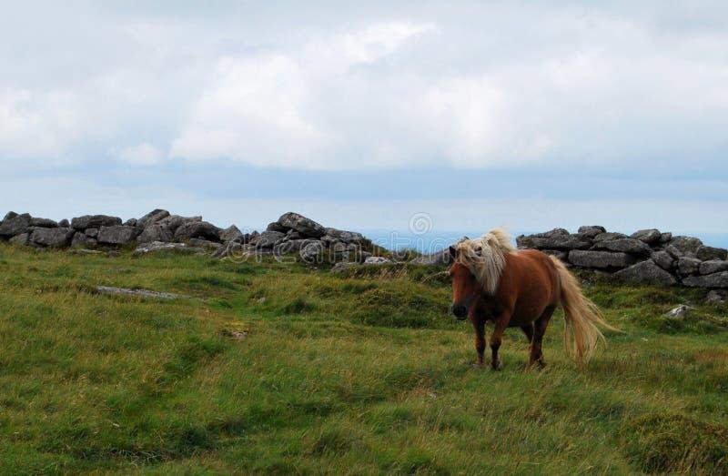 Ponny sauvage en parc national de Dartmoor photo libre de droits